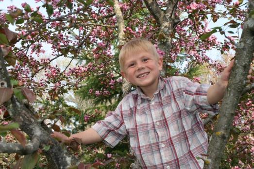 Crab apple tree Henry