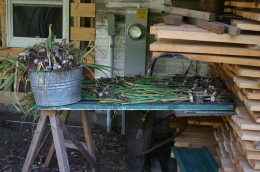 garlic 2011
