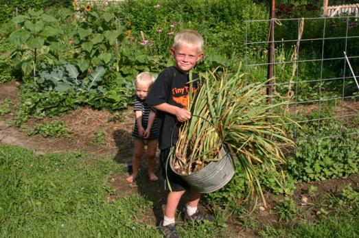 garlic harvest 2011