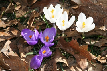 4-8-09 spring flowers
