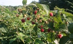 Raspberries 8-31-12