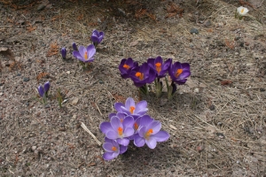 Crocus in the ditch