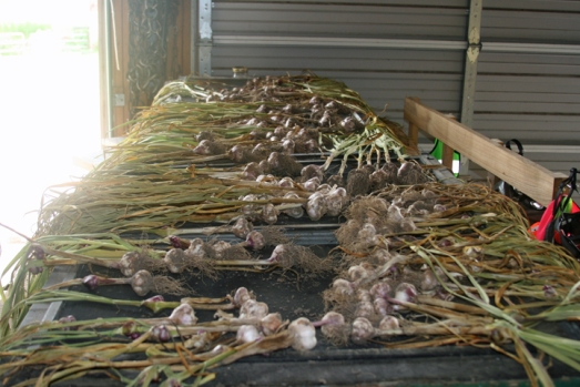 Garlic harvest drying