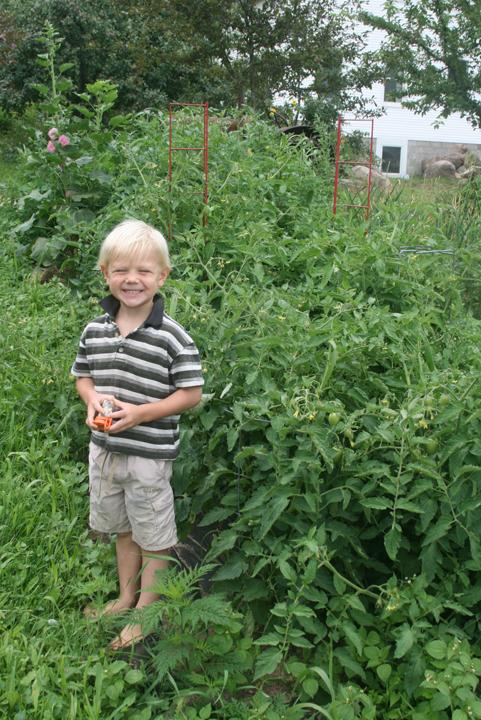 Tomatoes plants 2013