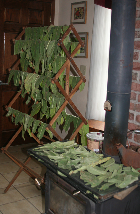 Mullein drying