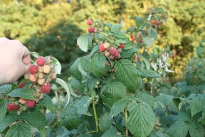 garden raspberries 2013