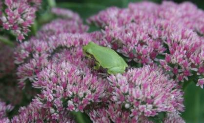 Garden sedum frog