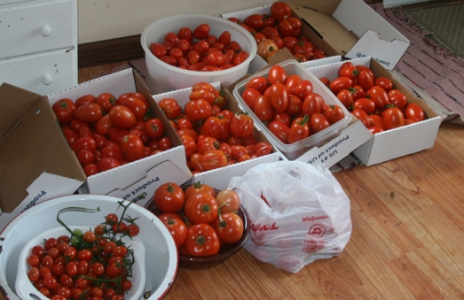 tomatoes first picking 2013