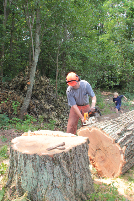 Oak tree sawing