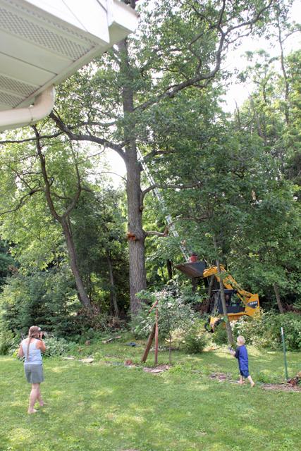 Oak tree standing