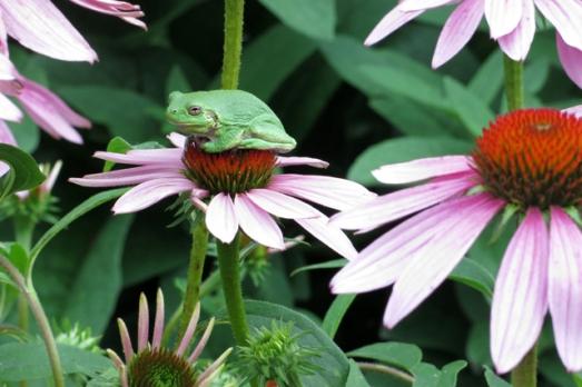 garden frog purple coneflower