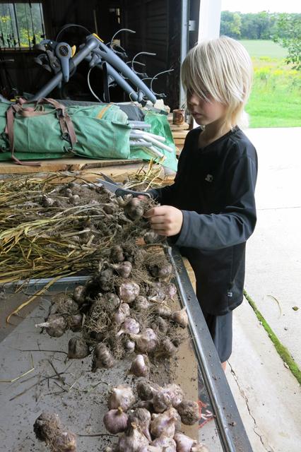 garden garlic trim