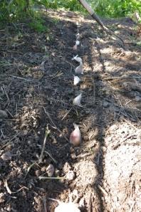 garlic planting 2014